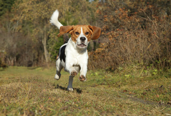 Beagle running in autumn park