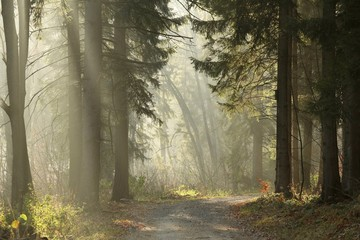Keuken foto achterwand Bos in mist Trail in the coniferous forest on a foggy November morning