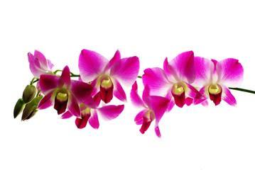 Red orchids isolated white  background