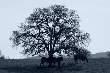 Silhouette of Horses and Oak Tree
