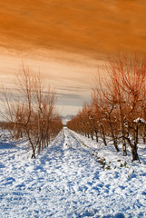 orchard at twilight in winter