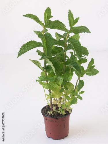 Menthe en pot photo libre de droits sur la banque d 39 images fo - Cultiver menthe en pot ...