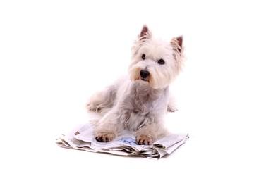 Hund Westie mit Zeitung schräg links schauend