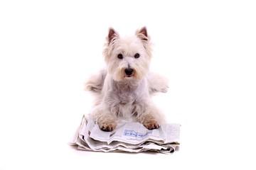 liegender Hund Westie mit Zeitung frontal