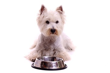 liegender Hund Westie mit Futternapf