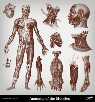 Engraving body muscles illustrations set.
