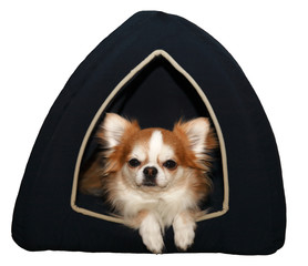 Cute isolated chihuahua in the dog bed