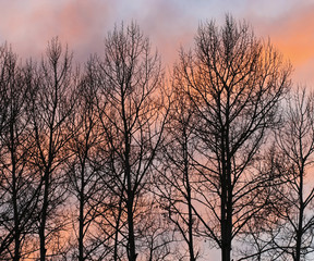 A Stand of Bare Trees Against a Winter Sunset