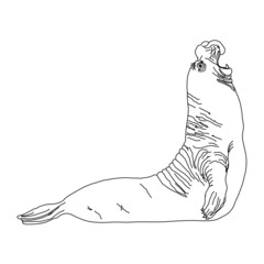 wild animal - SEAL, vector