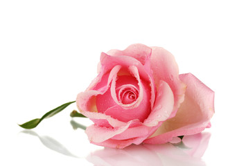 Pink rose isolated on white