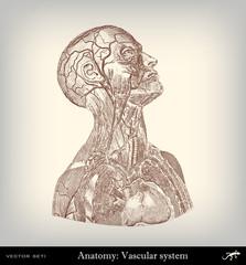 Engraving vintage vascular system.