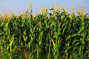 Cornfield with blue sky 2