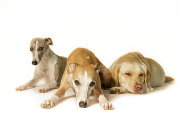 Drei gelangweilte Hunde