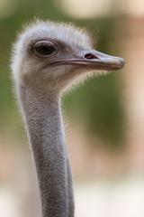 Portrait of an ostrich