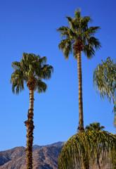 Fan Palms Trees Palm Springs California