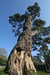 Cedar tree, Dartington hall