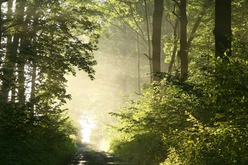 Foggy spring morning in the leafy woods