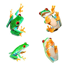 Wall Mural - collage of red-eye frogs Agalychnis callidryas isolated on white