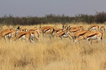 Impalas in der Steppe