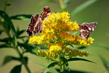Butterflies on the yellow flower