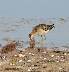sandpiper searched food in the sand