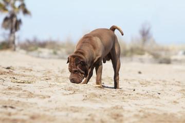 shar pei reniflant le sable de la plage