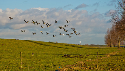 Geese flying away from a Dutch dike