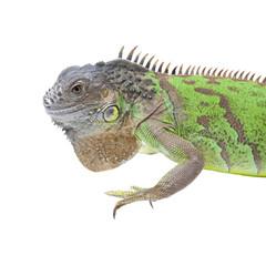 Iguana portrait isolated on white background