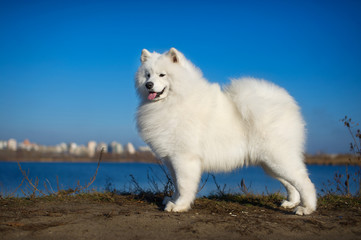 Beautiful samoyed dog