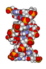 Part of a DNA double helix (a space filling model)
