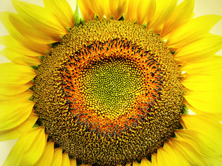 big yellow sunflower