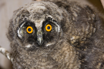 Young long-eared owl (Asio otus)