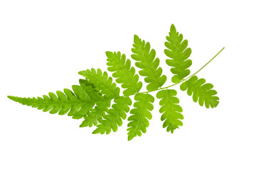 Young Green Fern Leave isolate on white background