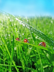 Foto op Canvas Lieveheersbeestjes three ladybirds in the grass