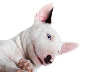 Bullterrier puppy - studio portrait