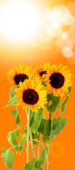 fresh sun flowers