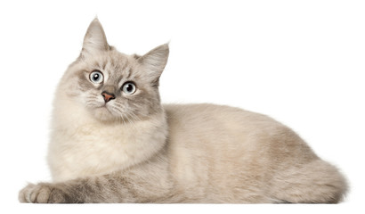 Wall Mural - Siberian cat, in front of white background