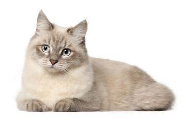 Fototapete - Siberian cat, in front of white background