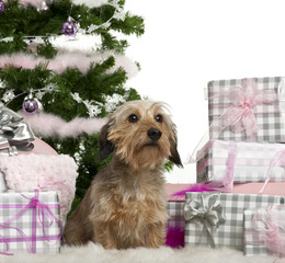 Dachshund, 3 years old, sitting with Christmas tree and gifts