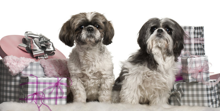 Shih Tzu sitting with Christmas gifts