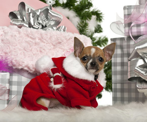 Chihuahua puppy, 3 months old, with Christmas gifts