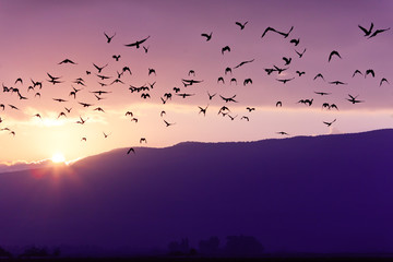 Foto auf Acrylglas Vogel Flock of Birds Flying at the Sunset above Mountian at the sunset