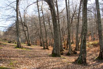 Bosque de castaños