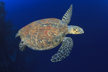 Hawksbill Sea Turtle in blue ocean