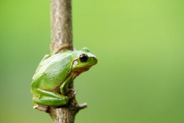 Fototapeten Frosch Frosch laubfrosch grün schön