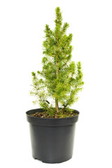green fir tree in a pot