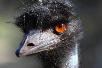 Portrait of an Emu in Australia