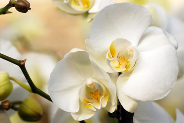 Tuinposter Orchidee White orchid