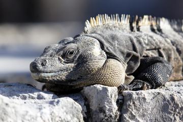 mexican iguana