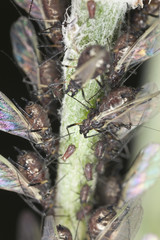 Aphids, extreme close up with high magnification